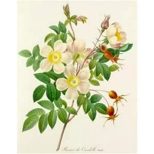 After Pierre-Jospeh Redoute, Floral Print, #130 Rosier