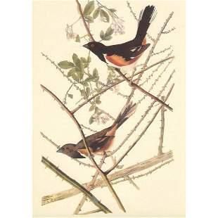 c1950 Audubon Print, Towhee