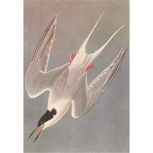 c1950 Audubon Print, Roseate Tern