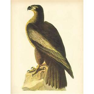 c1946 Audubon Print, #11 Bald Eagle