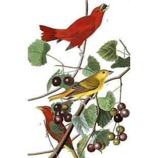c1946 Audubon Print, #44 Summer Tanager