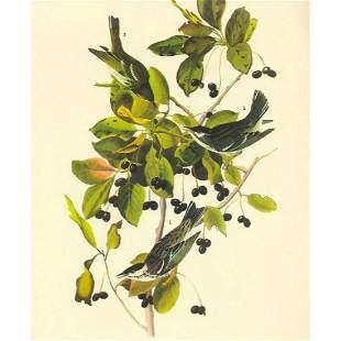 c1946 Audubon Print, #133 Black-Poll Warbler