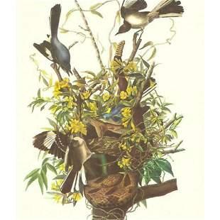 c1950 Audubon Print, Mocking Bird