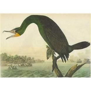 c1946 Audubon Print, #252 Double-Crested Cormorant