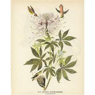 c1946 Audubon Print, #379 Rufus Hummingbird