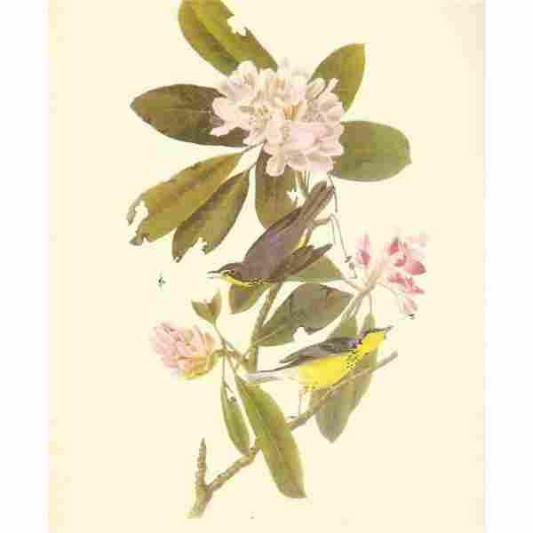 c1950 Audubon Print, Canadian Warbler