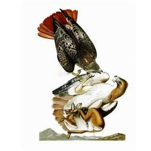 c1946 Audubon Print, #51 Red-tailed Hawk