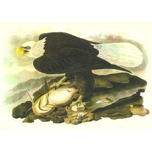 c.1946 Audubon Print, #31 Bald Eagle