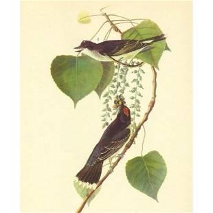 c1946 Audubon Print, #79 Kingbird