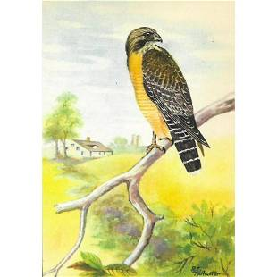 1920's Red-Shouldered Hawk Color Lithograph Print