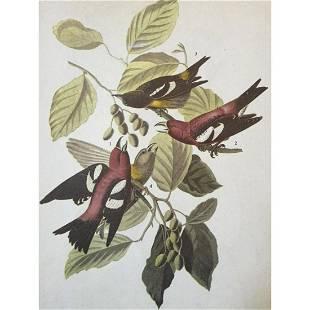 c1946 Audubon Print, #364 White-Winged Crossbill