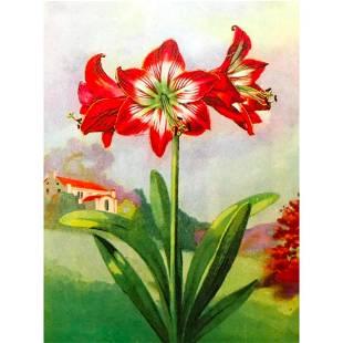 1920's Amaryllis Flower Color Lithograph Print