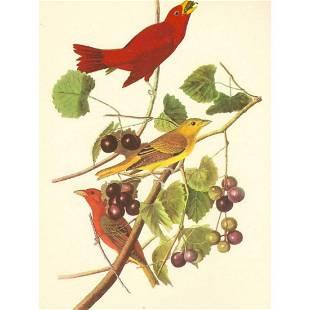 c1950 Audubon Print, Summer Tanager
