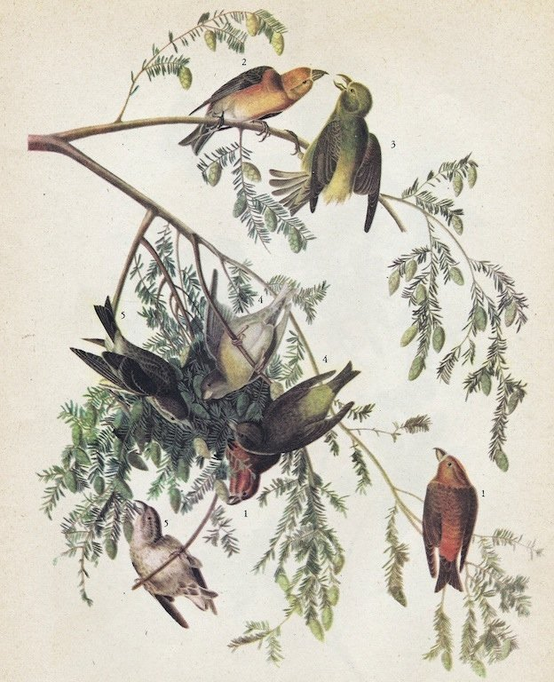John James Audubon Circa 1946 RED CROSSBILL