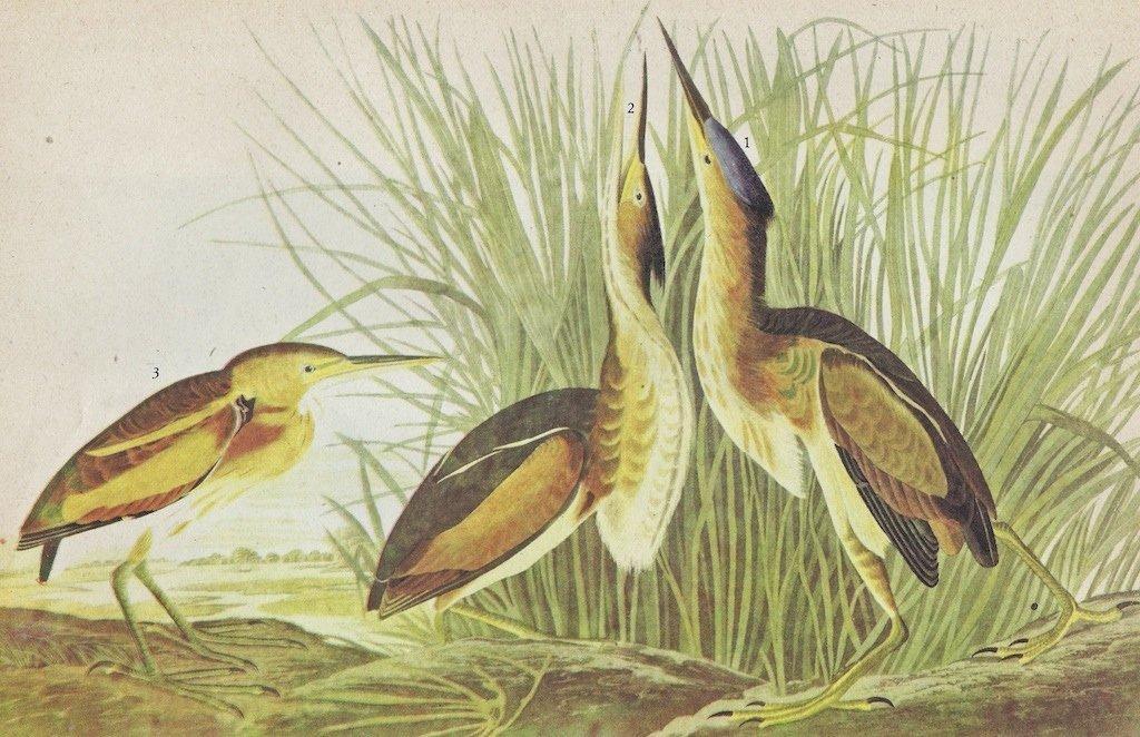 John James Audubon Circa 1946 LEAST BITTERN
