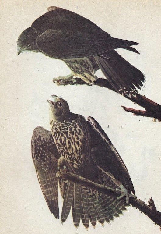 John James Audubon Circa 1946 GYRFALCON