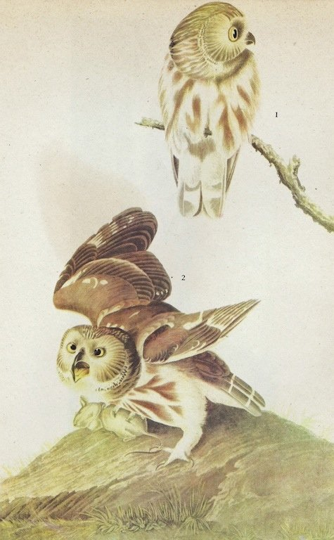 Audubon Saw-whet Owl The Birds of America c.1946.