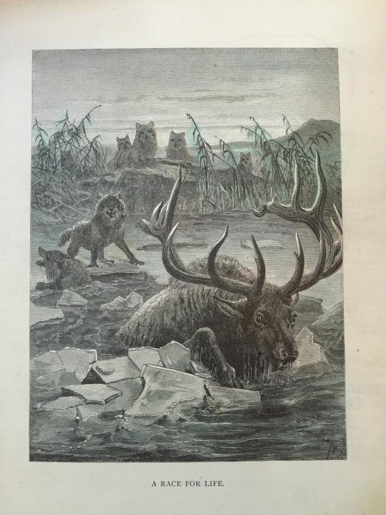 19thc Engraving, Wolves Hunting Stag - 2