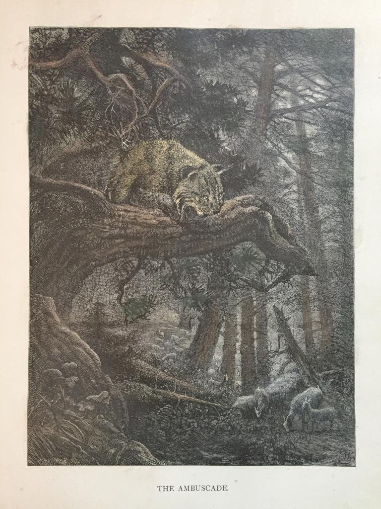 19thc Engraving, Bobcat Hunting Goats