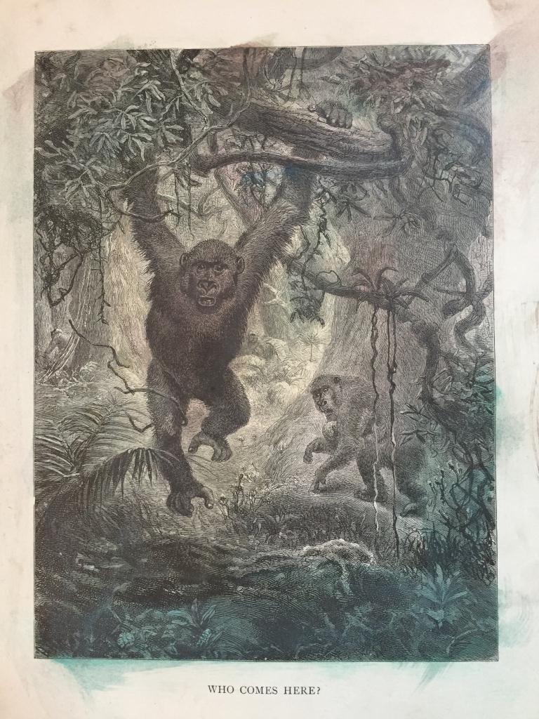 19thc Engraving, Jungle Gorilla Ape
