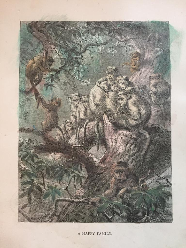 19thc Engraving, Baboon Family
