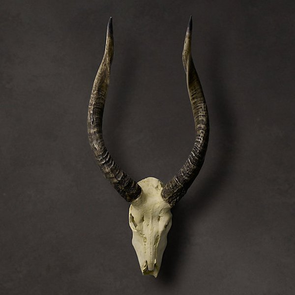 "African Antelope Horn and Skull 27"""