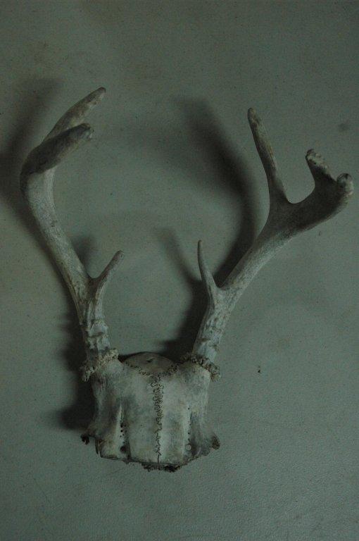 6 point deer rack