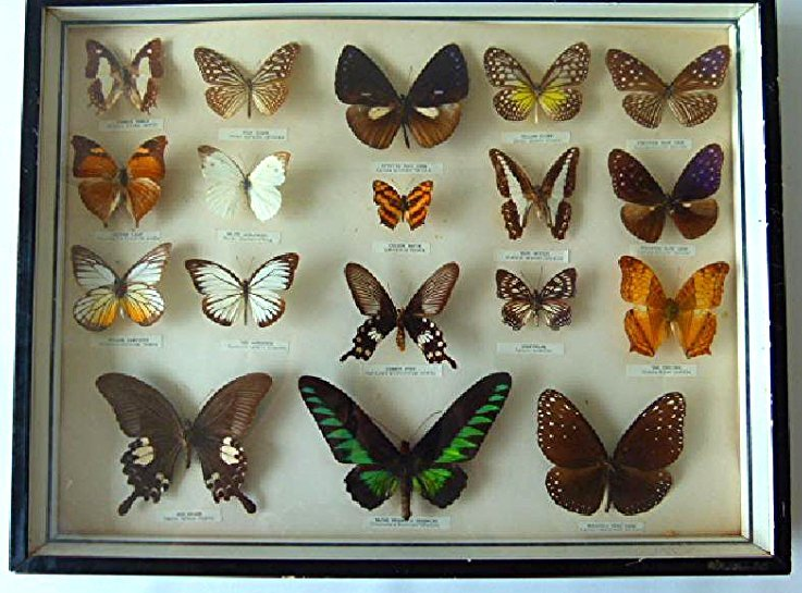 MOUNTED EXOTIC BUTTERFLY COLLECTION, 20TH C,