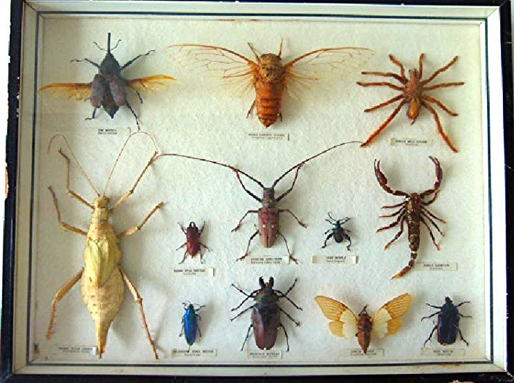 MOUNTED EXOTIC INSECTS INCL. RARE JEWEL BEETLE