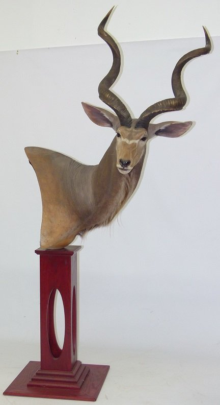 "TAXIDERMY MOUNT, AFRICAN ""GRATER KUDU"" FROM ZIMBABWE"