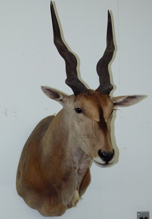 TAXIDERMY MOUNT, AFRICAN ELAND ANTELOPE FROM ZIMBABWE