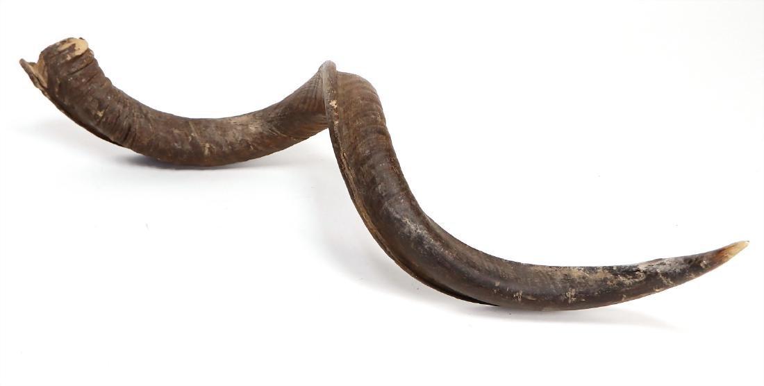 transverse horn (antelope horn), Africa, 85 cm #649#