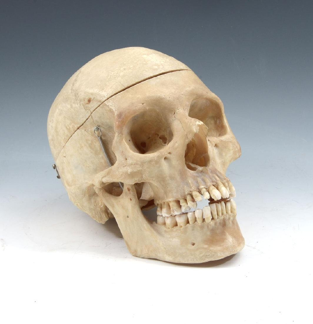ARTICULATED MEDICAL SCHOOL HUMAN SKULL