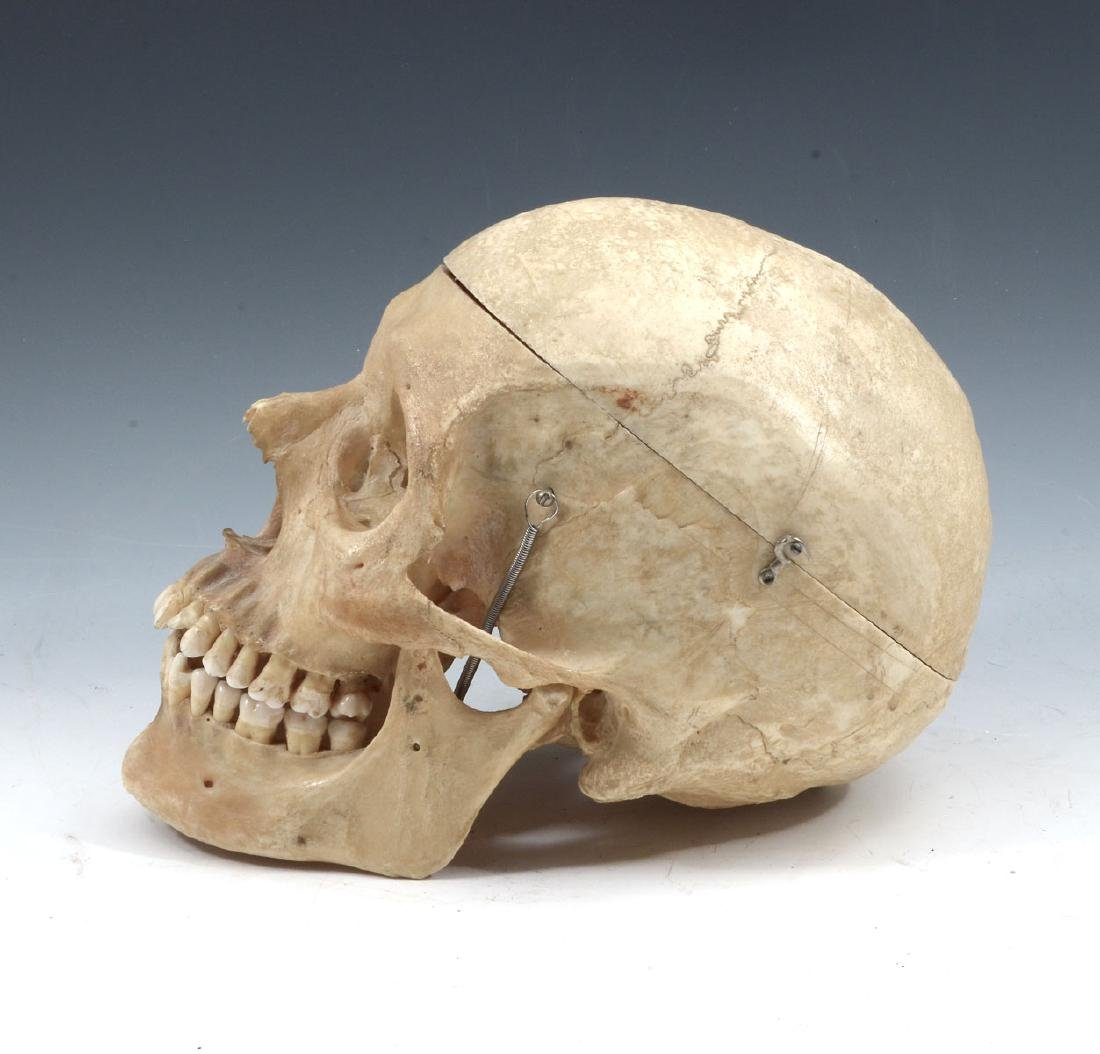 ARTICULATED MEDICAL SCHOOL HUMAN SKULL - 2