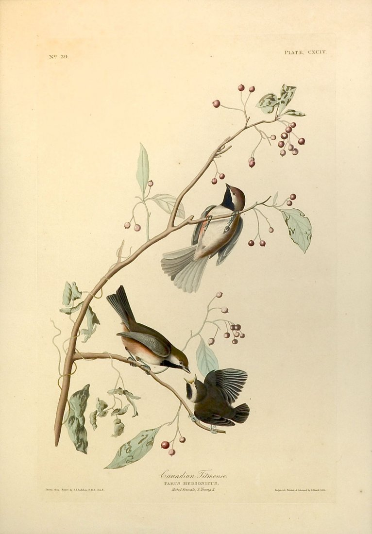 CANADIAN TITMOUSE AUDUBON HAVELL ENGRAVING