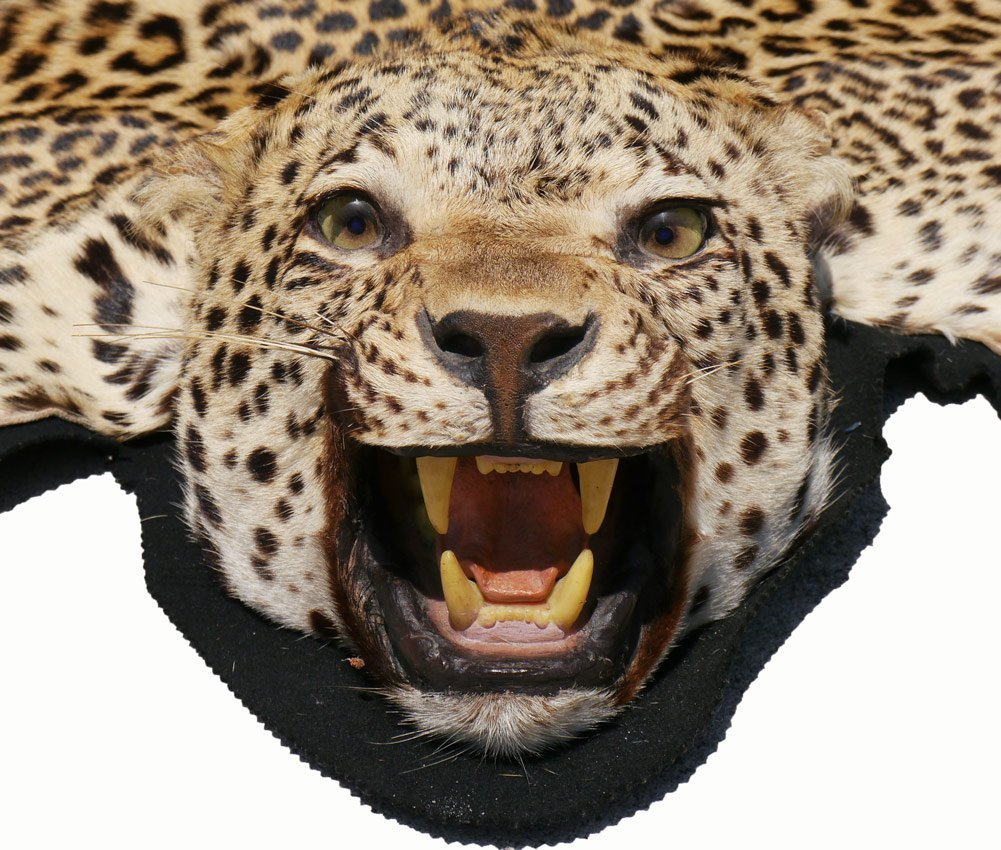 TAXIDERMY AFRICAN LEOPARD RUG MOUNT