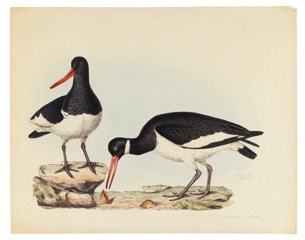 COMMON OYSTERCATCHER COLORED ENGRAVING