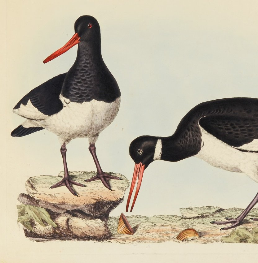 COMMON OYSTERCATCHER COLORED ENGRAVING - 2