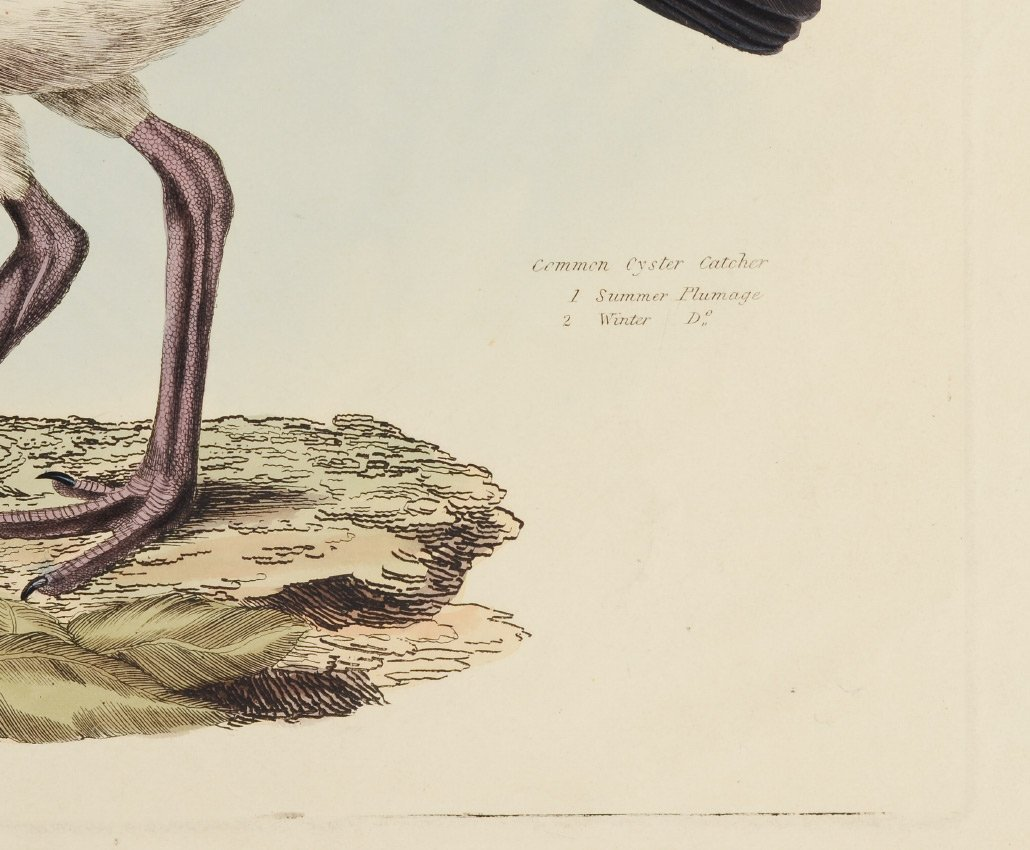 COMMON OYSTERCATCHER COLORED ENGRAVING - 3