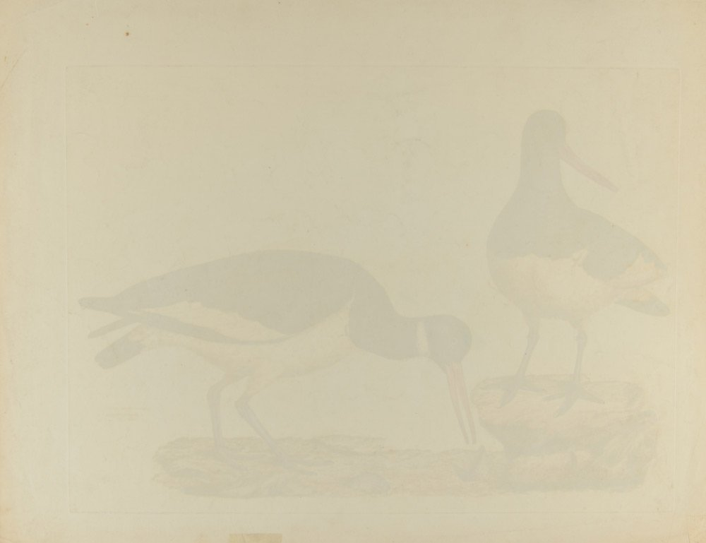 COMMON OYSTERCATCHER COLORED ENGRAVING - 5