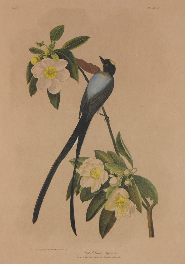 LITHOGRAPH AFTER AUDUBON FORK-TAILED FLYCATCHER