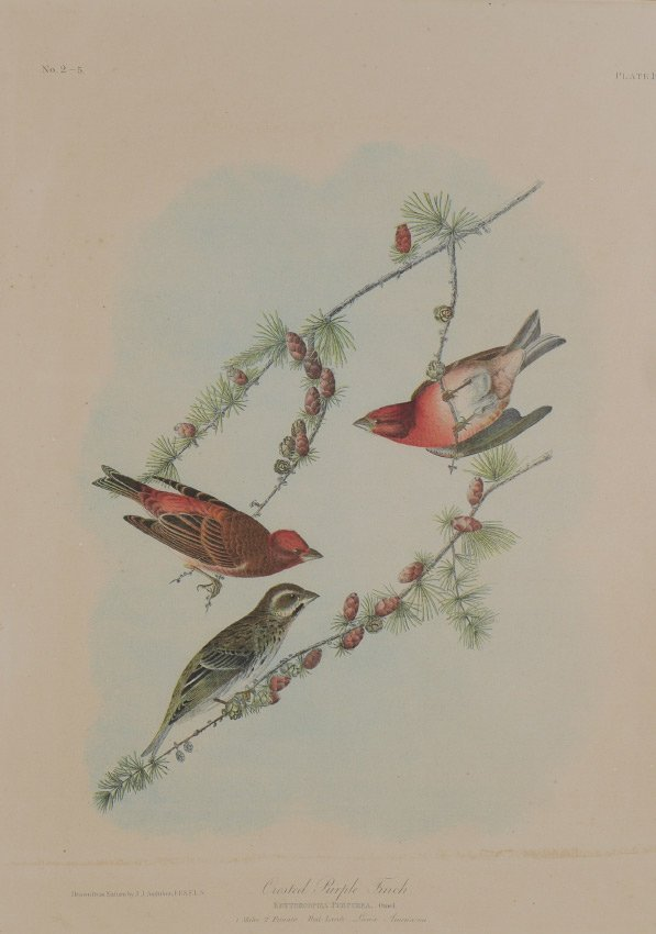 CRESTED PURPLE FINCH LITHOGRAPH AFTER AUDUBON