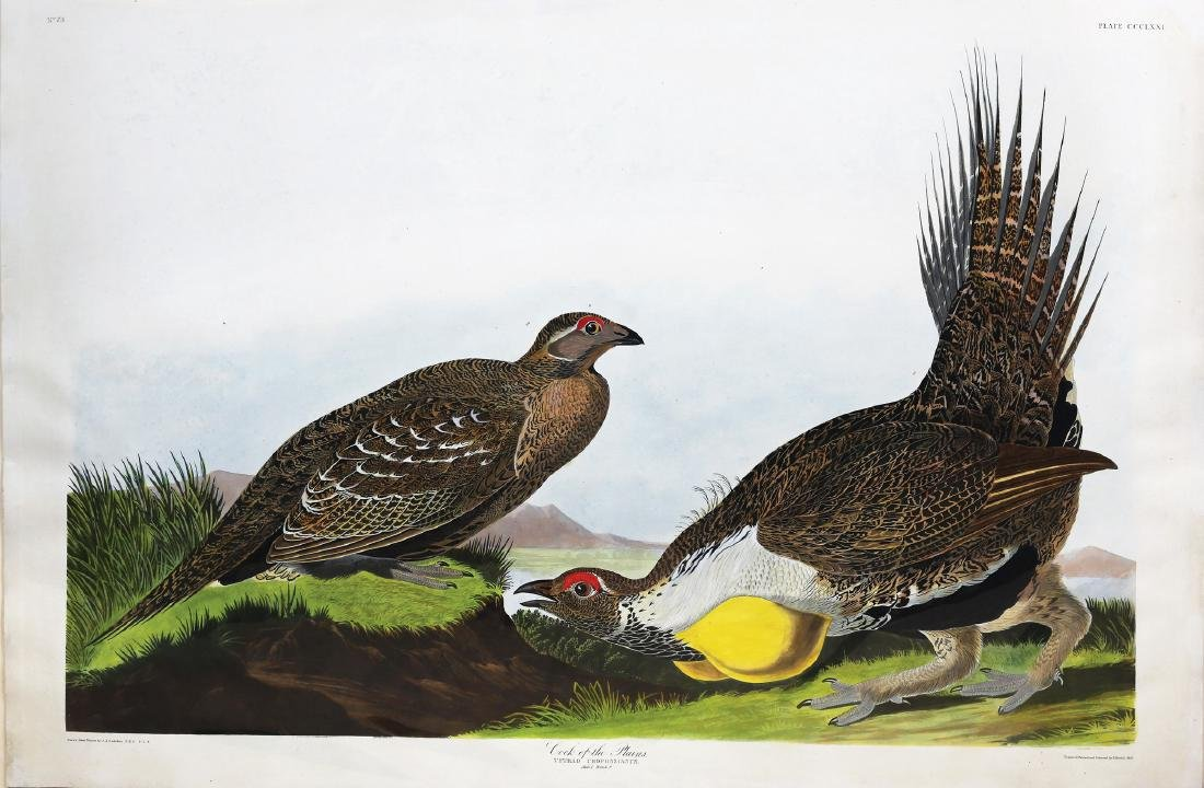 Audubon Aquatint, Cock of the Plains