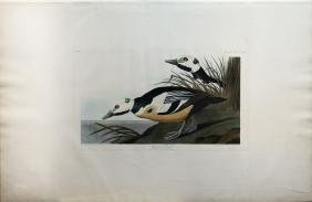 Audubon Aquatint, Western Duck