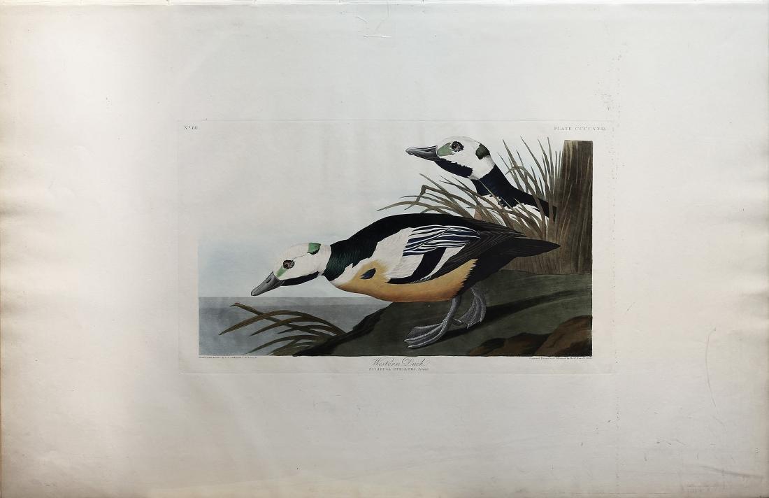 Audubon Aquatint, Western Duck