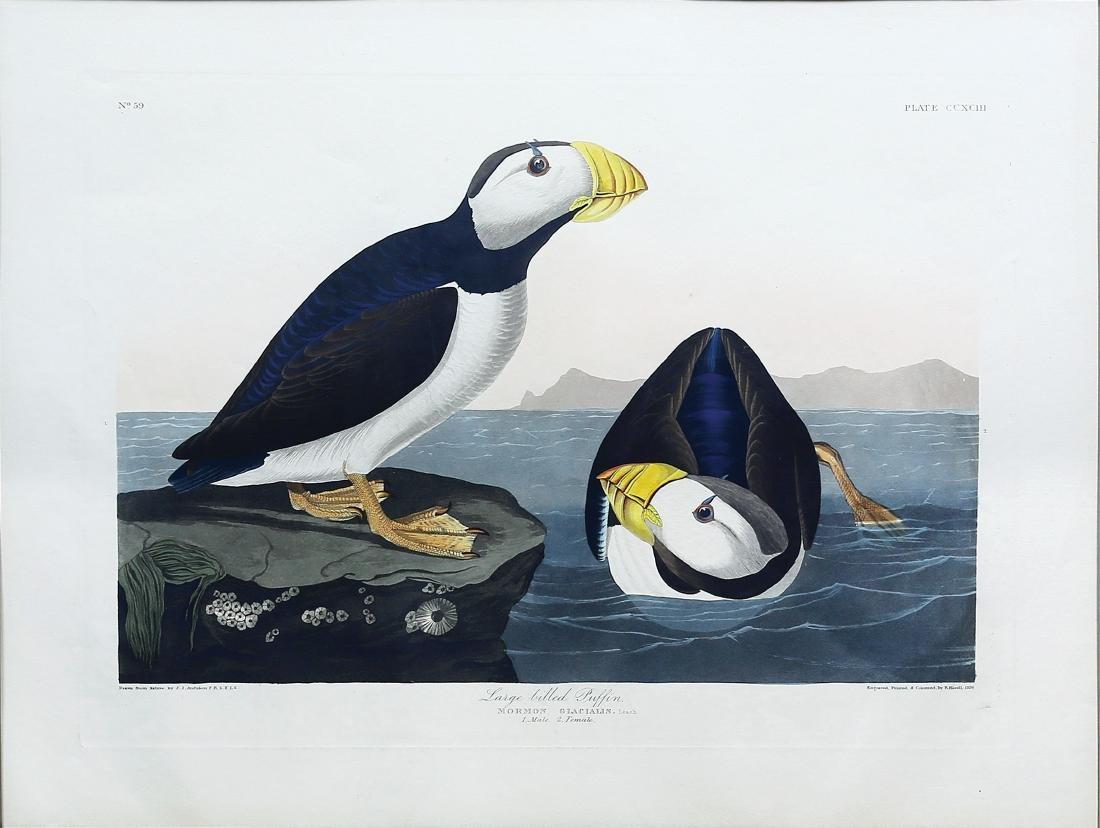 Audubon Aquatint, Large Billed Puffin