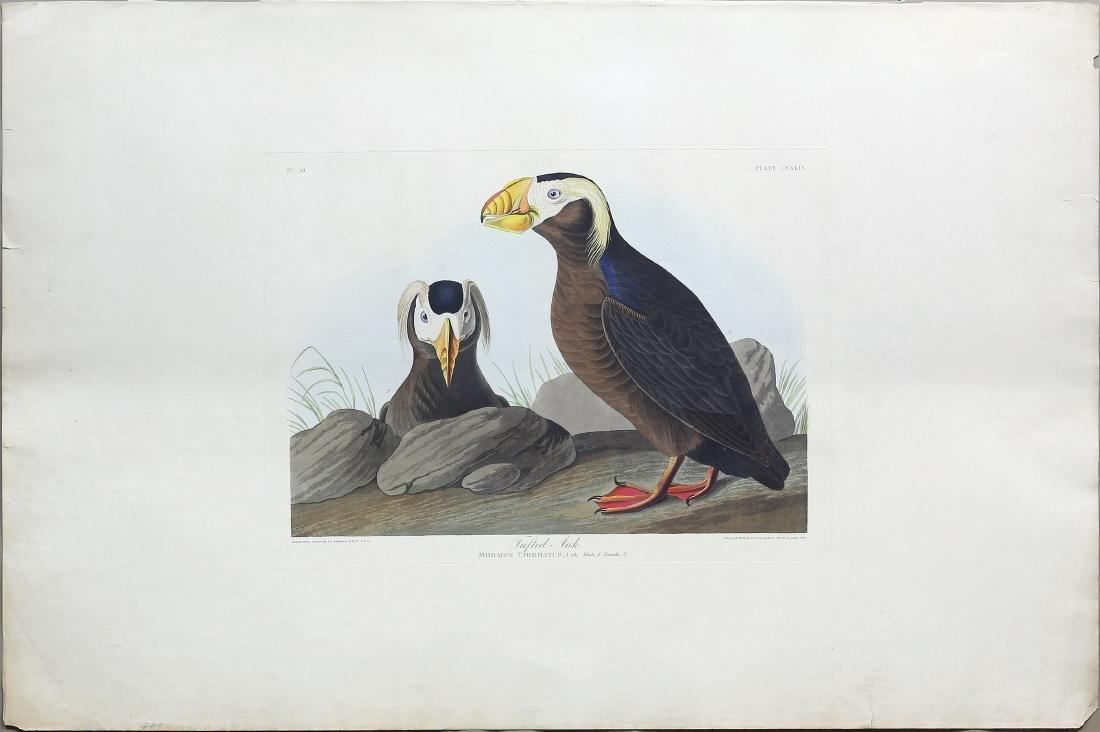 Audubon Aquatint, Tufted Auk
