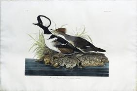 Audubon Aquatint, Hooded Merganser