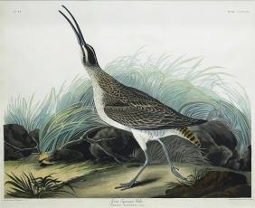 Audubon Aquatint, Great Esquimaux Curlew