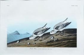 Audubon Aquatint, Rudy Plover